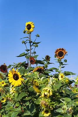 Ambition Photograph - Outstanding Sunflower by John Greim