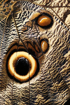 Entomology Photograph - Owl Butterfly by Judy Whitton