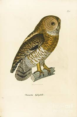 Bird Painting - Owl by Coenraad Jacob and Meiffren Laugier Chartrouse Temminck