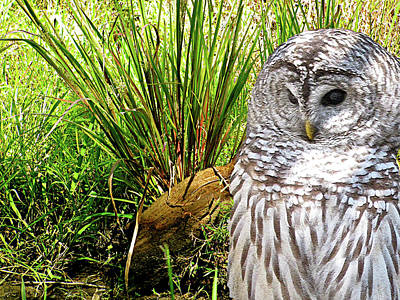 Owl Landscape Print by Debra     Vatalaro