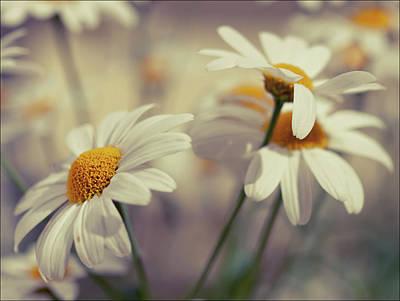 Oxeye Daisy Flowers Print by Haakon Nygård