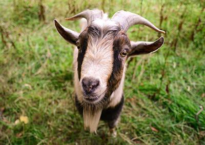 Oxford Goat Print by Alex Blondeau