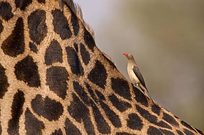 Oxpecker On Giraffe Back Print by Johan Elzenga