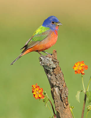 Bunting Photograph - Painted Bunting by Scott  Linstead
