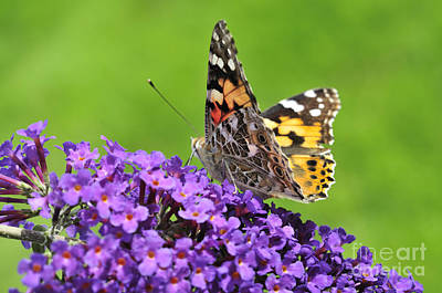 Painted Lady Butterfly On A Buddleia Print by Andy Smy