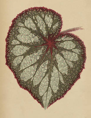 Begonia Garden Painting - Painted Leaf Begonia by English School