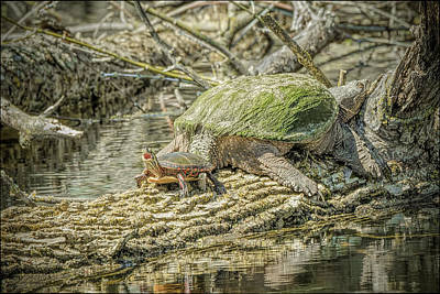 Bear Photograph - Painted Snapping Turtle Suprize II  by LeeAnn McLaneGoetz McLaneGoetzStudioLLCcom