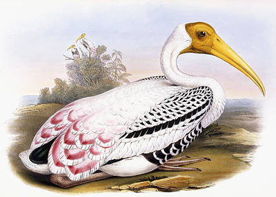 Stork Drawing - Painted Stork by John Gould