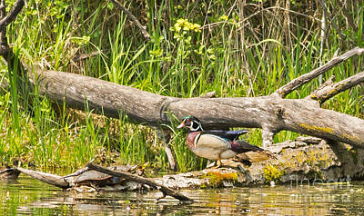 Wood Duck Photograph - Painted Turtle And Wood Duck by Natural Focal Point Photography