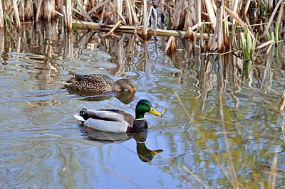Pair Of Mallard Ducks Print by Rod Johnson