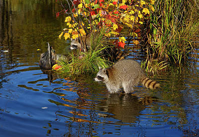 Animal Photograph - Pair Of Raccoons Wading In Flood Water Near A Small Island Of Gr by Reimar Gaertner