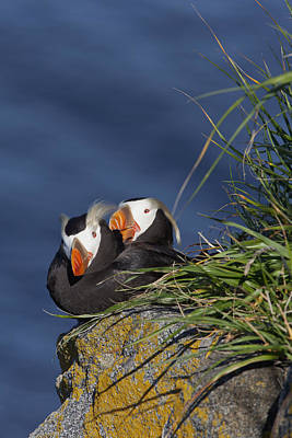 Ledge Photograph - Pair Of Tufted Puffins  Fratercula by Gary Schultz