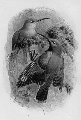 Pair Of Wallcreepers  Print by Johan Gerard Keulemans