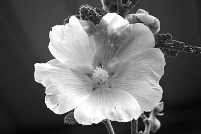 Fushia Photograph - Pale Beauty by Tina M Wenger