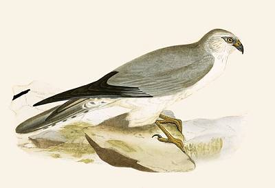 Falcon Drawing - Pale Chested Harrier by English School