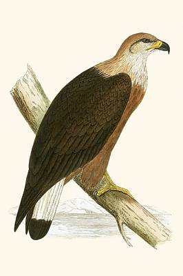 Eagle Drawing - Pallas's Sea Eagle by English School