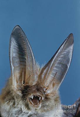 Pallid Bat Print by Charles E. Mohr