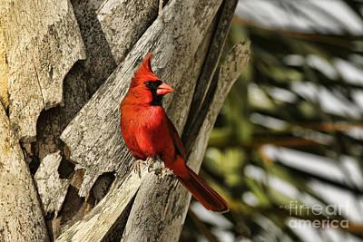 Cardinals. Wildlife. Nature Photograph - Palm Perch by Deborah Benoit