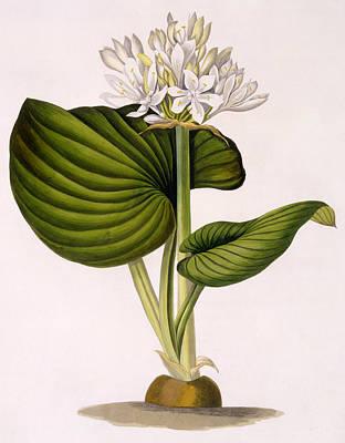 Pancratium Amboinense Print by Mrs Edward Bury