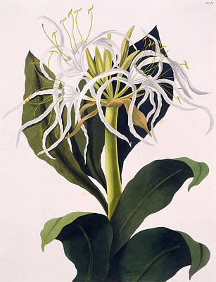 Pancratium Speciosum Print by Mrs Edward Bury