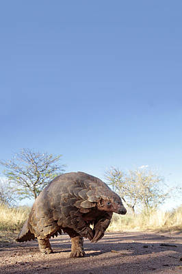 Pangolin Photograph - Pangoolin by Scott Hurd