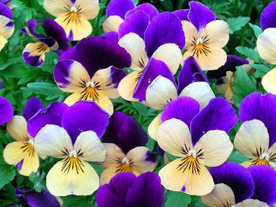 Yellow Photograph - Pansies by Sandy Taylor