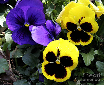 Winter Flowers Photograph - Pansy Boys by Paul Anderson