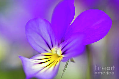 Flower Photograph - Pansy Violet by Heiko Koehrer-Wagner