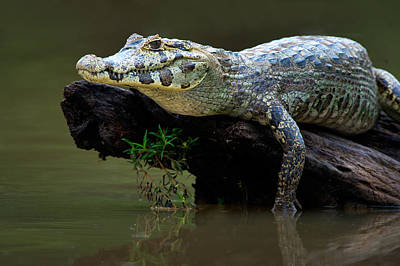 Wetlands Photograph - Pantanal Caiman On Wood, Pantanal by Panoramic Images