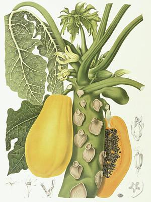 Mango Drawing - Papaya by Berthe Hoola van Nooten
