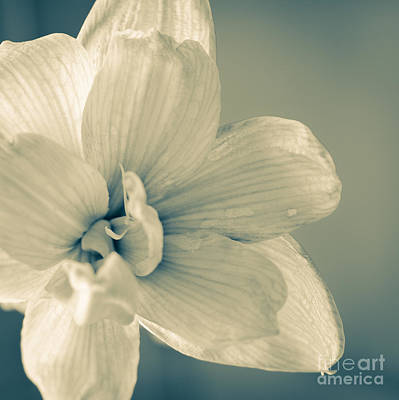Blooming Photograph - Paper Amaryllis White Amaryllis Flower On Watercolour Background by Andy Smy