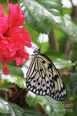 Entomology Photograph - Paper Kite Butterfly #4 by Judy Whitton