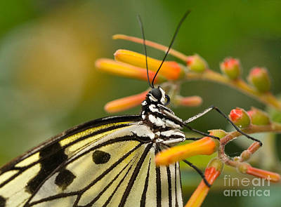 Flower Photograph - Paper Kite Butterfly With Orange Flower by Louise Heusinkveld