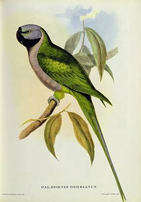 Talons Photograph - Parakeet by John Gould