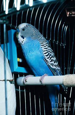 Parakeet Photograph - Parakeet by John Kaprielian
