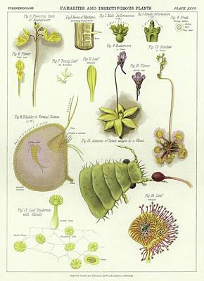 Parasites And Insectivorous Plants Print by English School