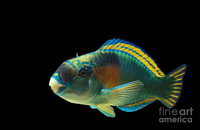 Parrot Fish Chlorurus Sordidus Print by Gerard Lacz