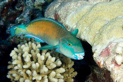 Parrotfish With Coral Print by Tim Laman