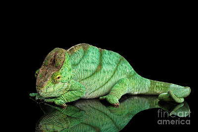 Reptiles Photograph - Parson Chameleon, Calumma Parsoni Orange Eye On Black by Sergey Taran