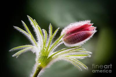 Pasque Flower Print by Janet Burdon