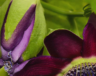 Passionflower Photograph - Passiflora Abstract by Olga Hamilton