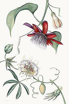 Passiflora Painting - Passiflora Quadrangulais And Cerule - Th26 by Tobias Hodson