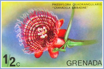 Passiflora Painting - Passiflora Quadrangularis by Lanjee Chee