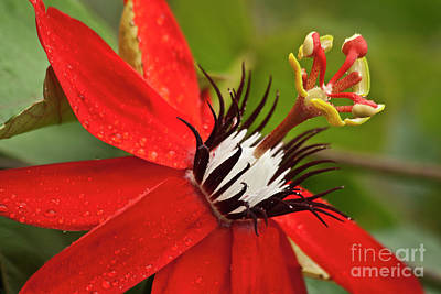 Passion Fruit Photograph - Passionate Flower by Heiko Koehrer-Wagner
