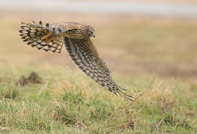 Northern Harrier Photograph - Patient Huntress by Angie Vogel