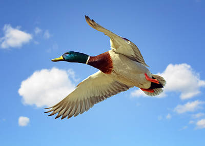 Ducks In Flight Photograph - Peaceful Flight by Steven  Michael