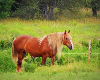 Belgian Draft Horse Photograph - Peaceful Pastures by Karen Cook