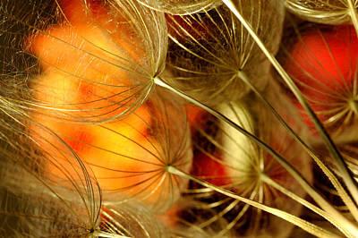 Peach Dandelions Print by Iris Greenwell