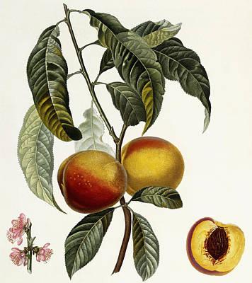 Peach Drawing - Peach by Pierre Antoine Poiteau