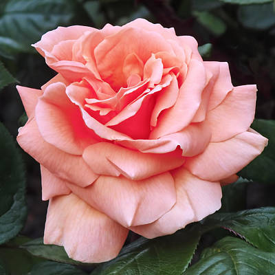 Rose Photograph - Peach Rose by Rona Black